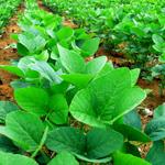 USDA: Ukrajna szójatermelésének kétharmada GMO
