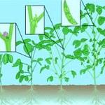 Gondolatok a szójabab tápanyag-gazdálkodásáról és hiánytüneteiről